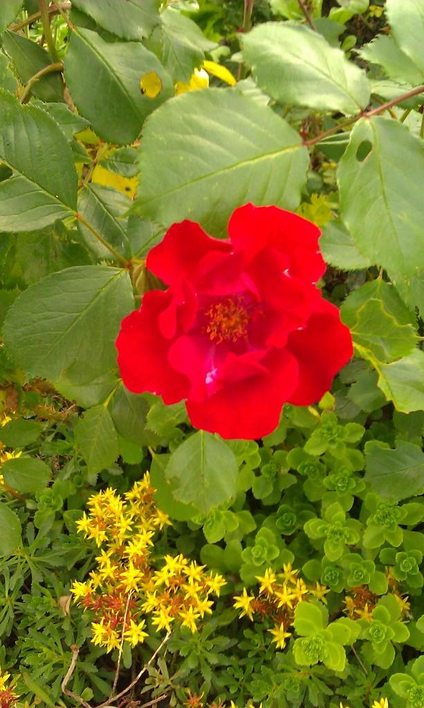 Überrote Rose