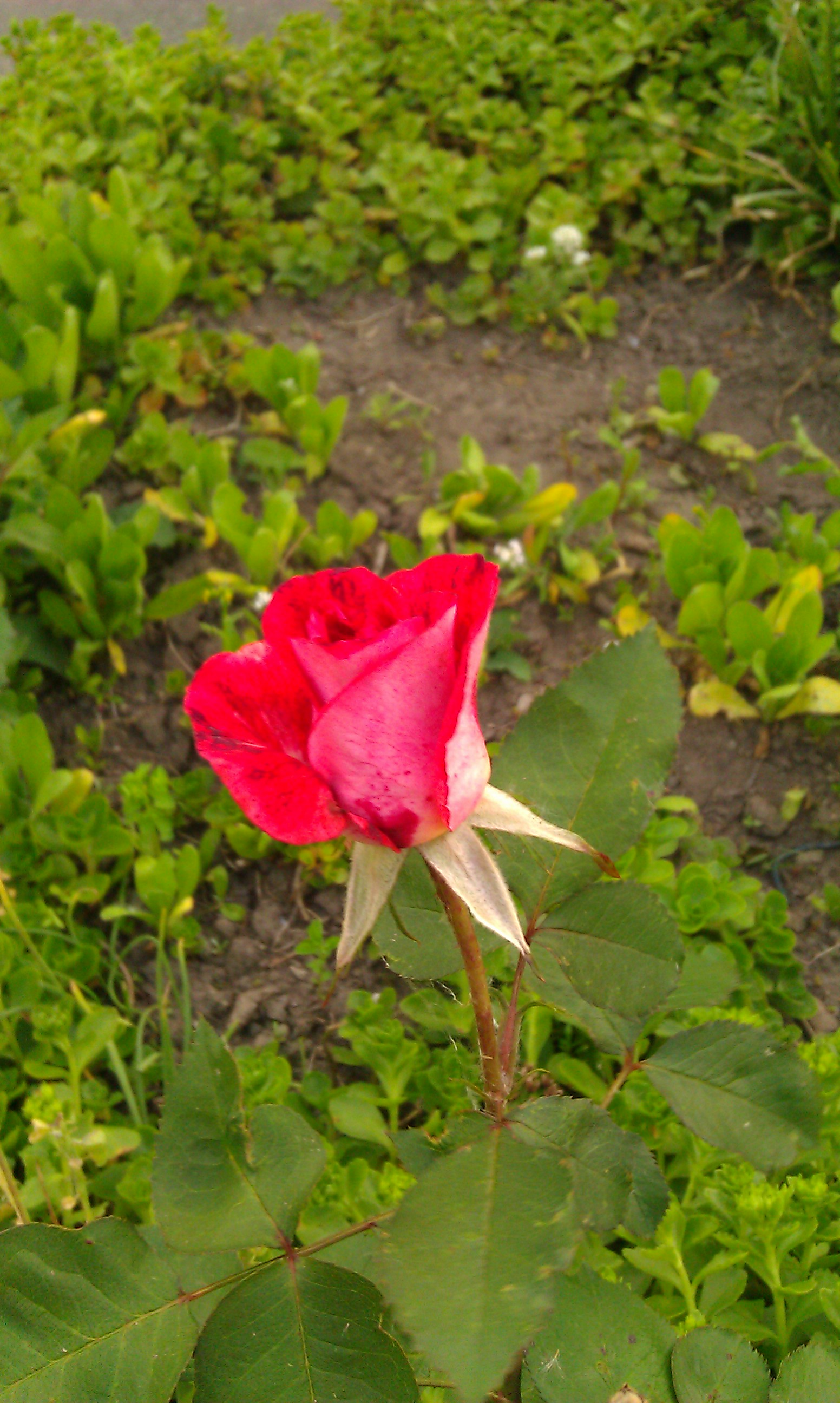eine rose ist eine rose ist garten 43. Black Bedroom Furniture Sets. Home Design Ideas