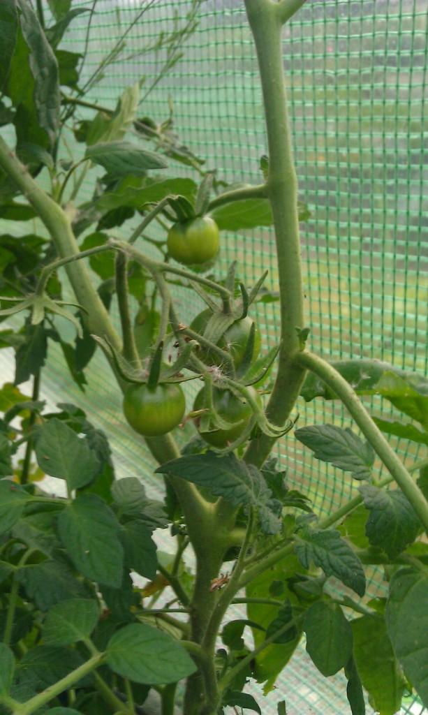 Die ersten Tomatenrohlinge